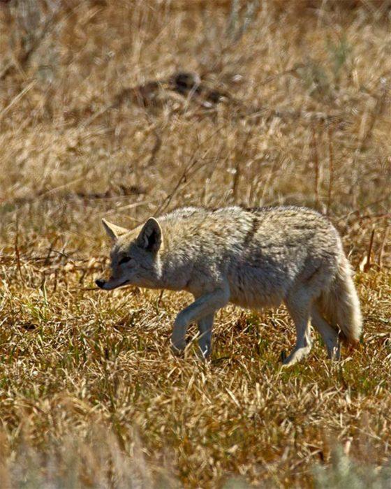hembra de coyote con vientre abultado por sus crías