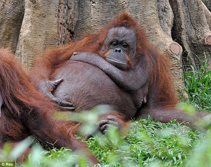 orangutam hembra a poco tiempo de dar a luz