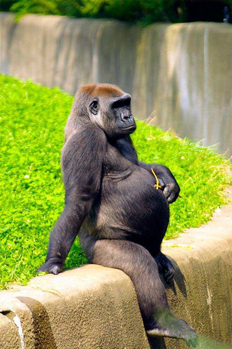 Resultado de imagen para gorila preñada