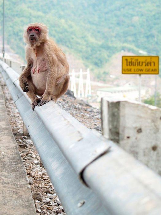 macaco hembra a poco tiempo de dar a luz