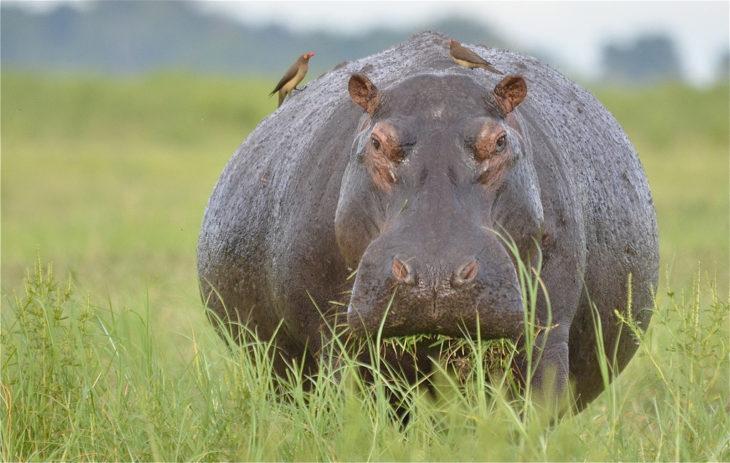 hipopótamo de río cercana a dar a luz