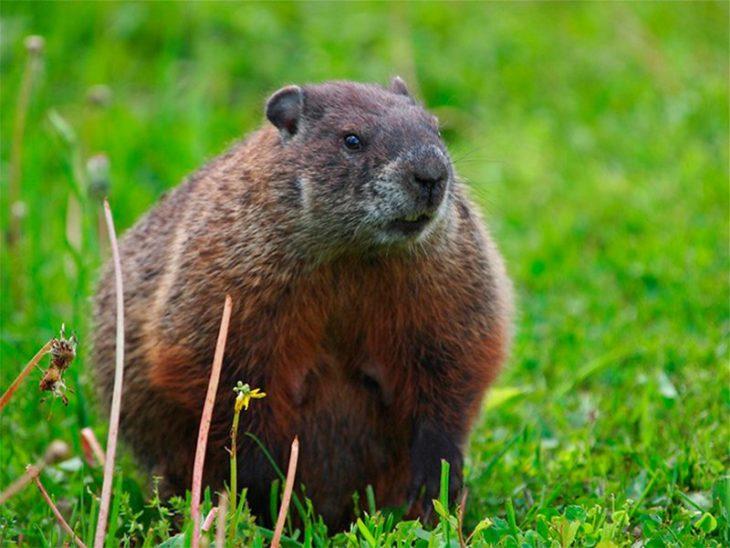 marmota roedor de campo embarazado