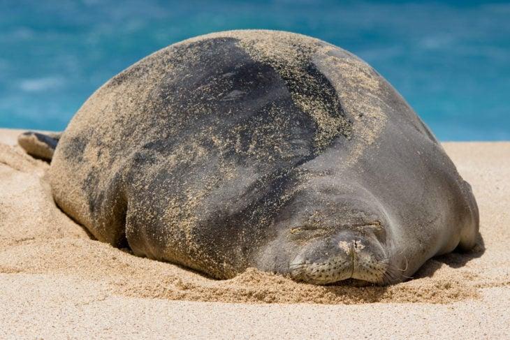 gran foca monje embarazada tirada en la playa