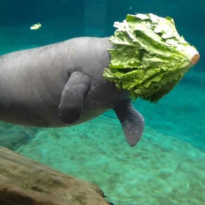 vaca marina con lechuga en su cabeza