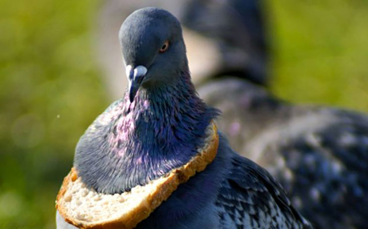 Paloma con trozo de pan atorado en la cabeza