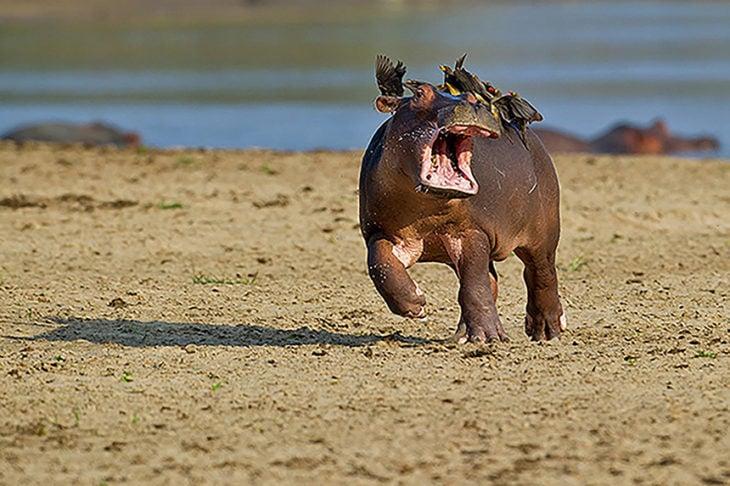 cachorro de hipopótamo atacado por aves