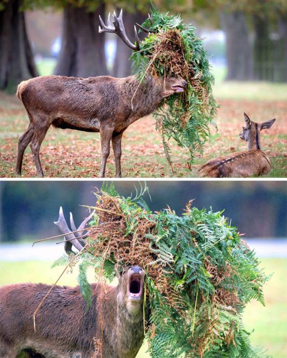 ciervo atorado con pasto