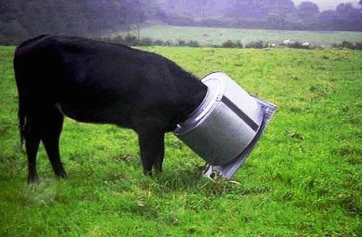 vaca atorada en olla