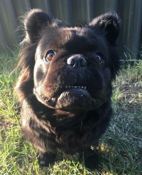 bull dog perro foto