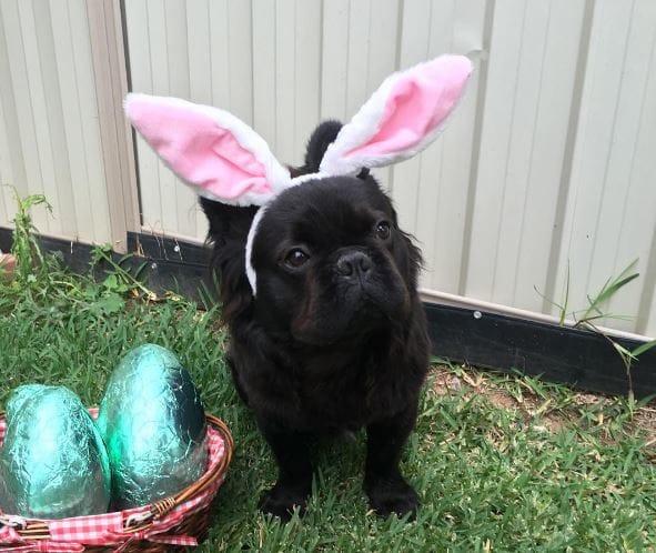pascua perrito disfrazado de conejo
