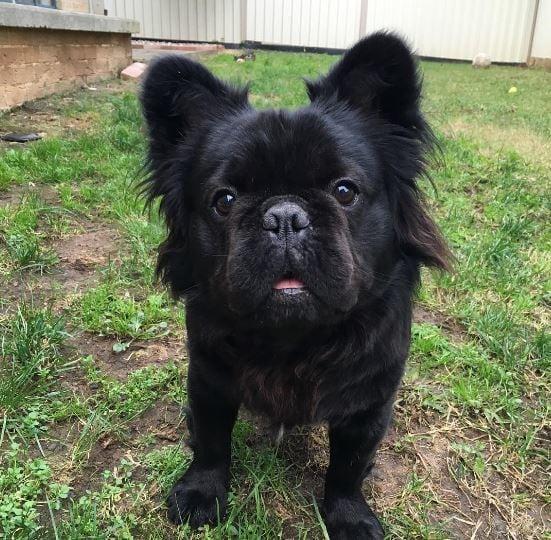 fotografia bull dog negro con pelo