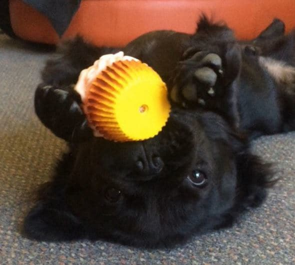 cup cake perrito bull dog con pelo