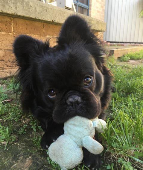 bull dog francés con pelo negro peluche