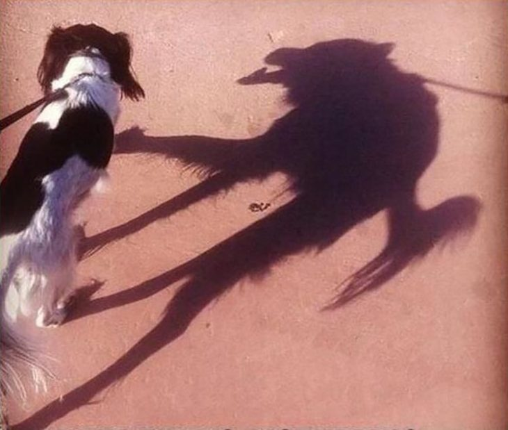 Perro cuya sombra parece un lobo