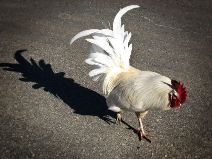 la sombra del gallo tiene forma de piña