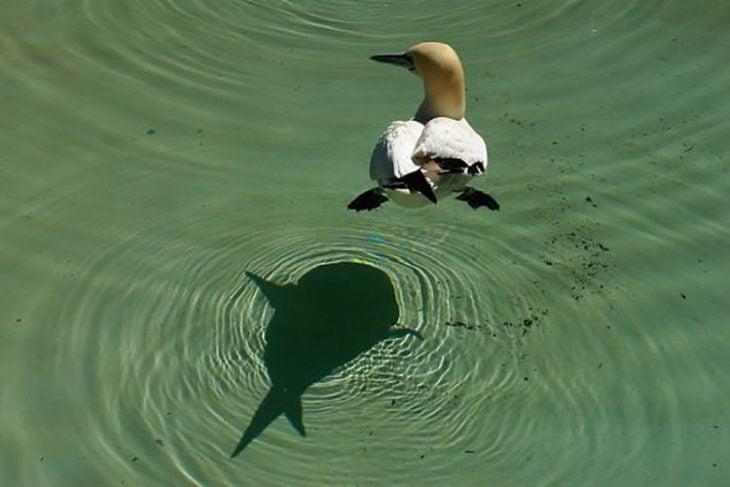 Sombra de ave forma la silueta de un pez
