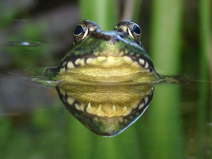 rana que con el reflejo parece que tiene una gran mandibula