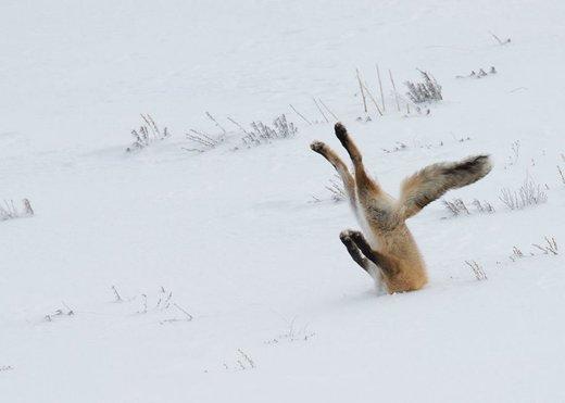 zorro clavado en la nieve