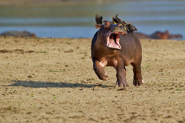 hipopótamo sufriendo con pájaros