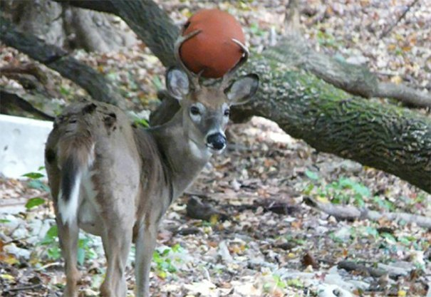 venado con pelota atorada