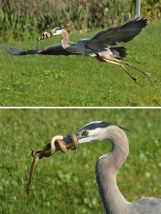 serpiente atorada en pico de pájaro