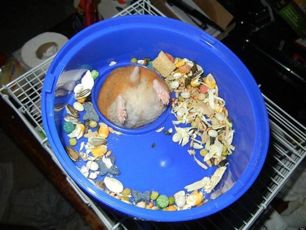 hamster gordito atorado