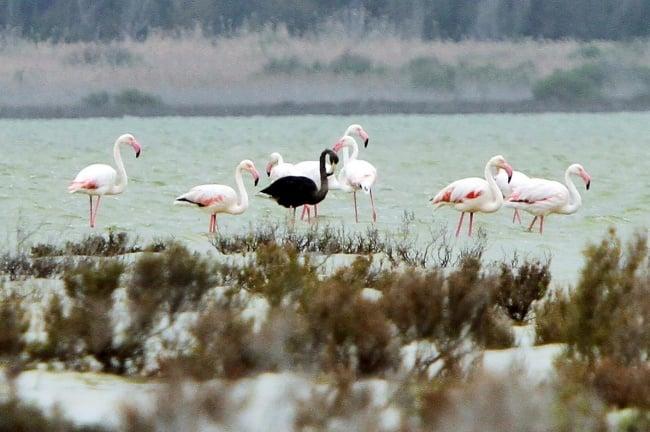 flamingo negro