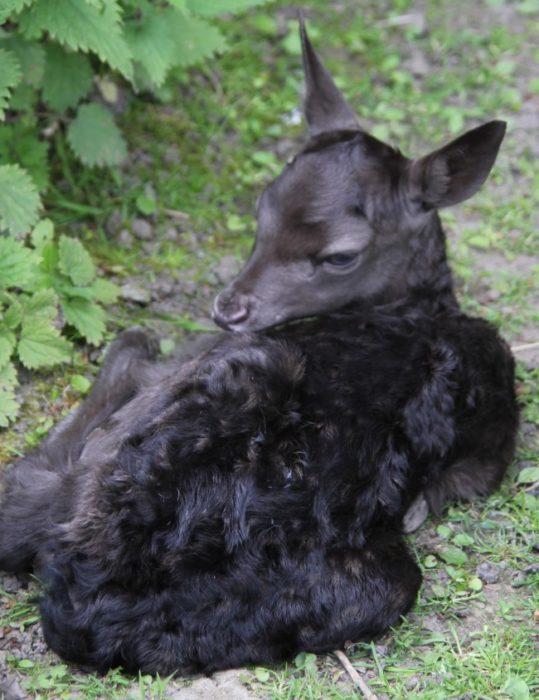 ciervo negro