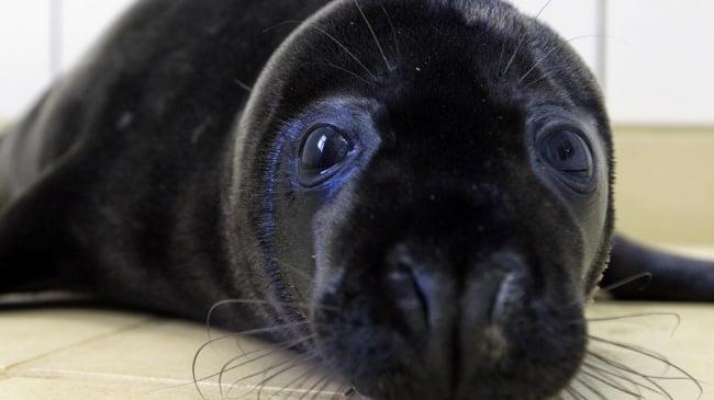 foca negra