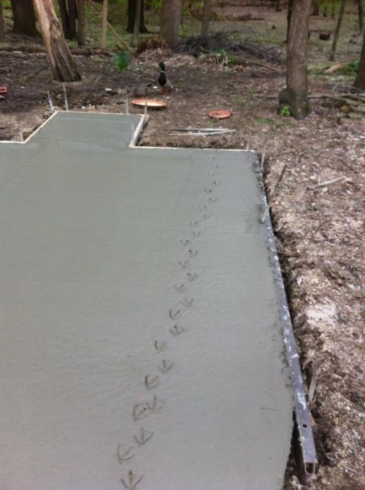 Pato pasa caminando por cemento fresco