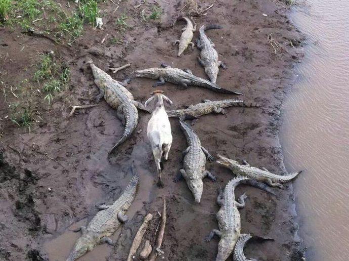 cabra pasa caminando en medio de cocodrilos