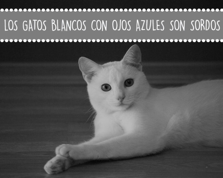 gatos sordos