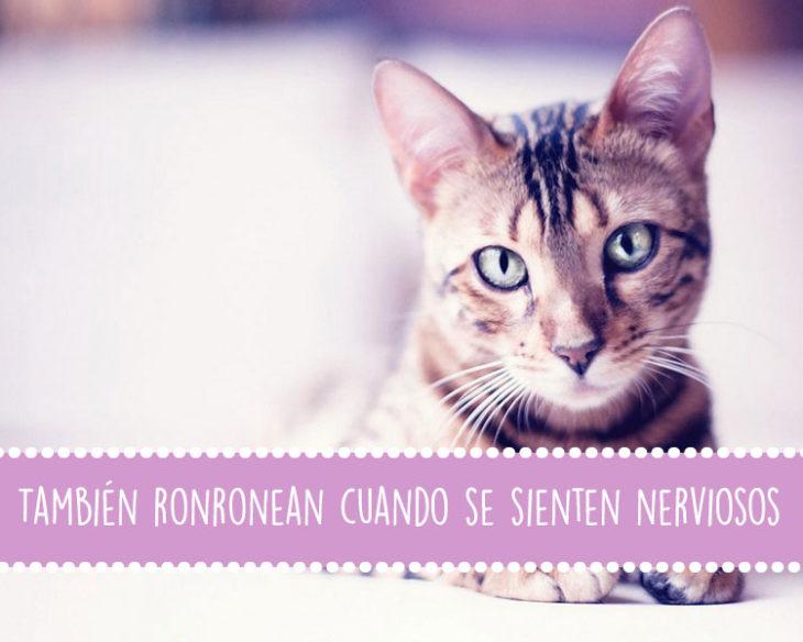 gatos ronroneo