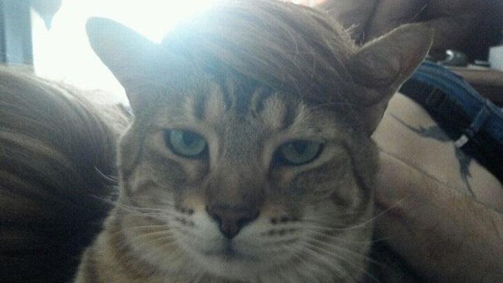 gato copete