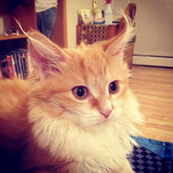 gato despeinado