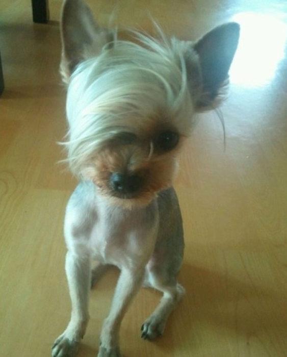 perro copete melena