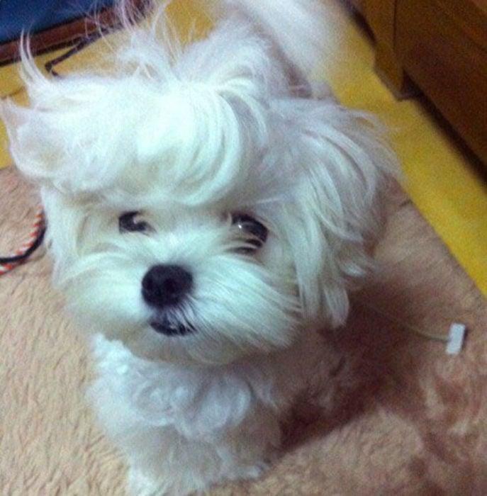 perro blanco melena