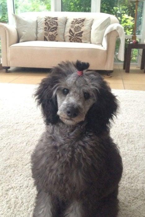 perro colita cabello