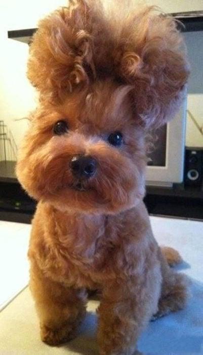 perrito chongo