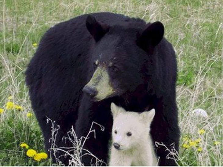 Pequeño osezno albino protegido por su madre