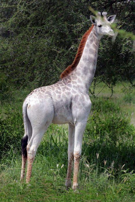 pequeña jirafa que tiene albinismo