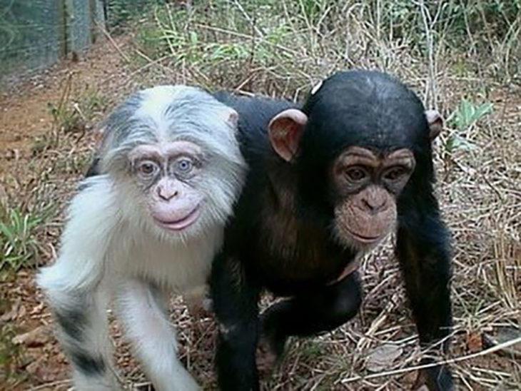 Pequeño chimapance con albinismo