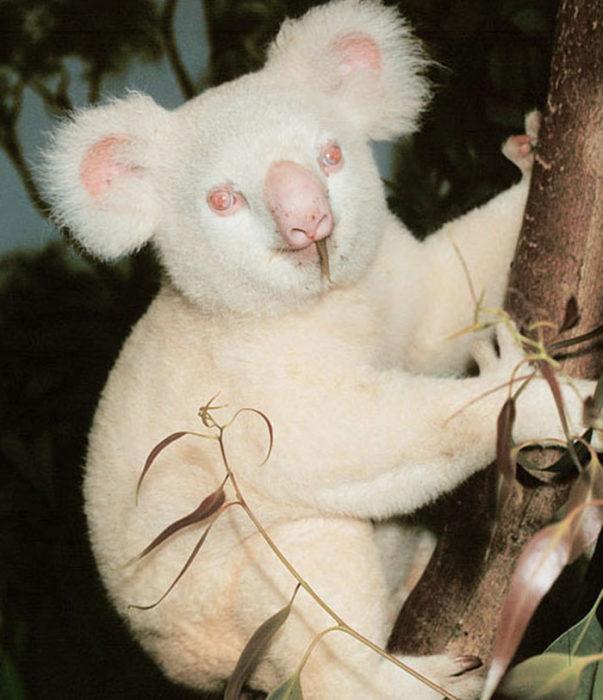 koala que sufre de albinismo