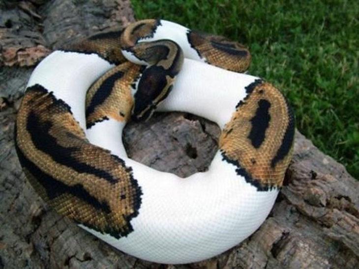 Serpiente con manchas blancas por albinismo parcial