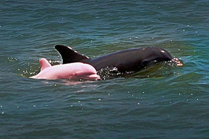 delfin albino junto a delfin común