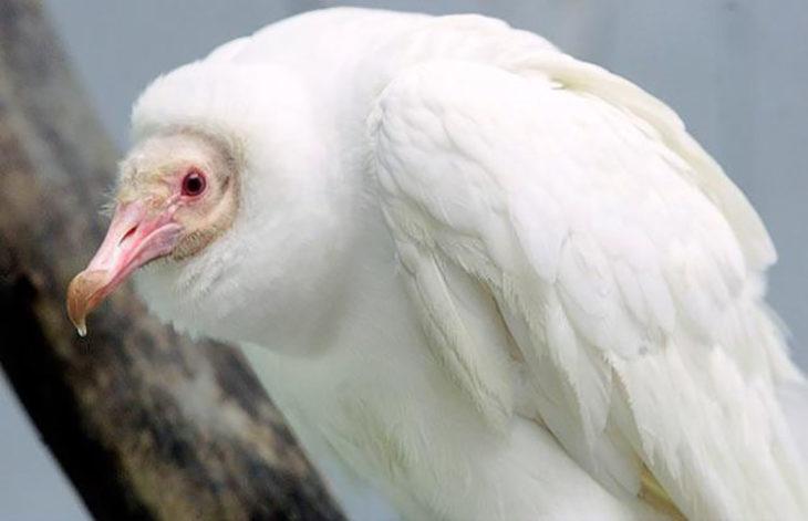 Buitre con albinismo