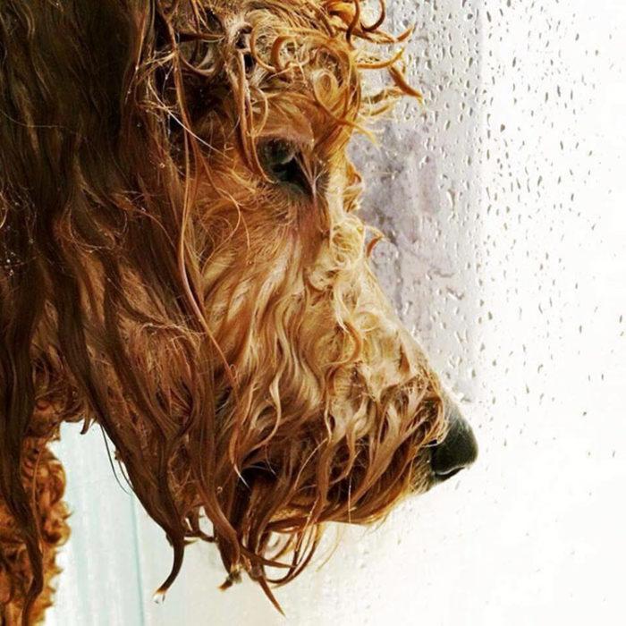 Perro mojado observando por la ventana