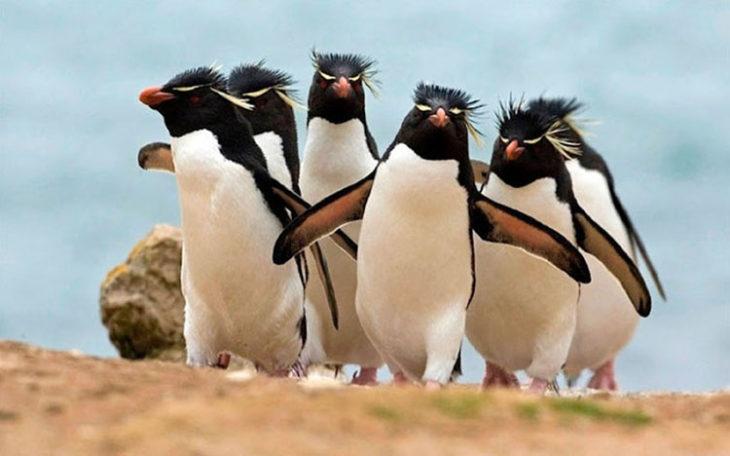 pingüinos caminando en grupo con las alas abiertas