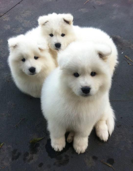 Cachorros blancos mirando fijamente a la cámara