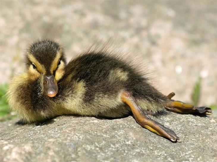 Pequeño pato en pose sencual